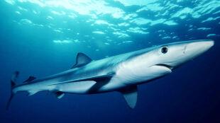 Złowił rekina, chciał wciągnąć go na pokład. Wtedy doszło do ataku
