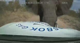 Słoń uderzył w samochód i ciosami rozpruł maskę auta
